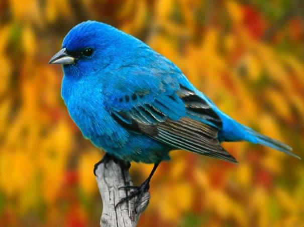 blue-bird-wallpaper-free