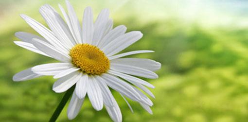 fresh-as-a-daisy-5101
